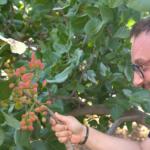 Adotta un pistacchio: al via la campagna di crowdfunding Fustuq